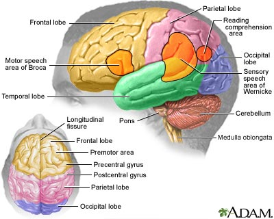 brain-regions-short-term-memory-loss